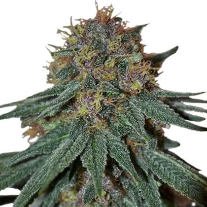 Purple Haze Feminized Seeds for sale from IGLM