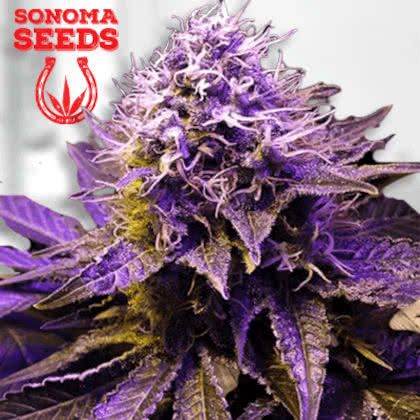 Purple Haze Feminized Seeds for sale from Sonoma