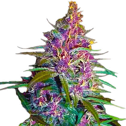 Purple Kush Feminized Seeds for sale from Crop King