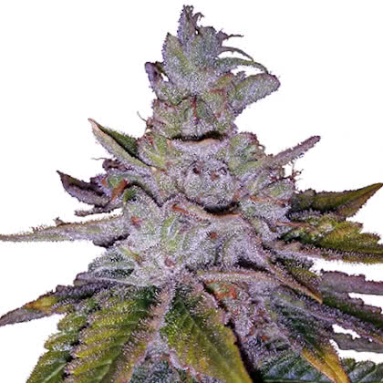 Purple Kush Feminized Seeds for sale from IGLM