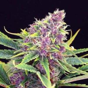 Purple Kush Feminized Seeds for sale from Seedsman by Kannabia