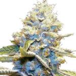 Skywalker OG Feminized Seeds for sale USA