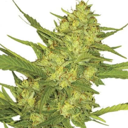 Sour Diesel Feminized Seeds for sale from IGLM
