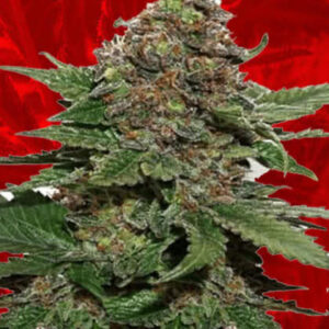 Strawberry Cough Feminized Seeds for sale from Crop King