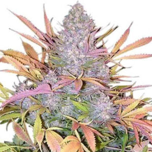 Strawberry Cough Feminized Seeds for sale from IGLM