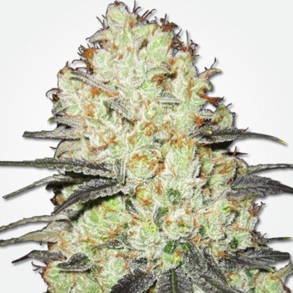 Strawberry Cough Feminized Seeds for sale from MSNL