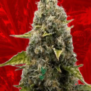 Strawberry Kush Feminized Seeds for sale from Crop King