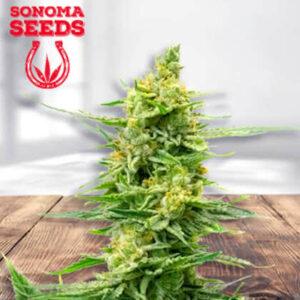 Strawberry Kush Feminized Seeds for sale from Sonoma