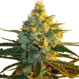 Super Lemon Haze Feminized Seeds for sale from IGLM
