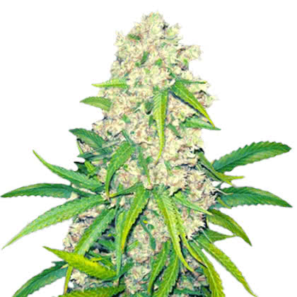 Super Silver Haze Feminized Seeds for sale from Crop King