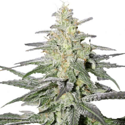 Super Silver Haze Feminized Seeds for sale from IGLM