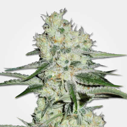 The Cheese Feminized Seeds for sale from MSNL