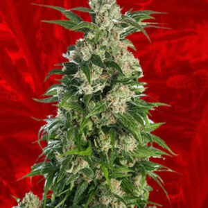 Trainwreck Feminized Seeds for sale from Crop King