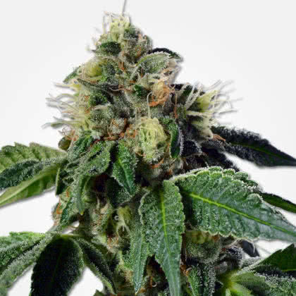 Trainwreck Feminized Seeds for sale from MSNL
