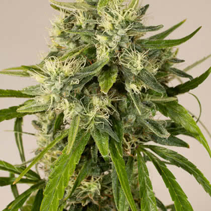 Trainwreck Feminized Seeds for sale from Seedsman by Humboldt Seed Organization