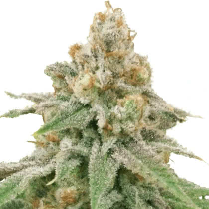 Wedding Cake Feminized Seeds for sale from IGLM