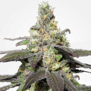 Wedding Cake Feminized Seeds for sale from MSNL
