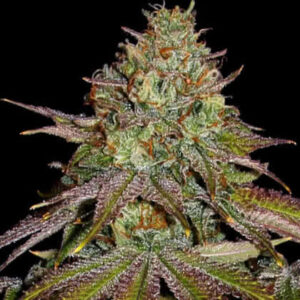 Wedding Cake Feminized Seeds for sale from Seedsman by Barney's Farm