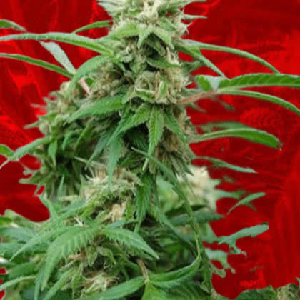 White Rhino Feminized Seeds for sale from Crop King