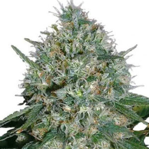 White Rhino Feminized Seeds for sale from IGLM