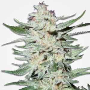 White Rhino Feminized Seeds for sale from MSNL
