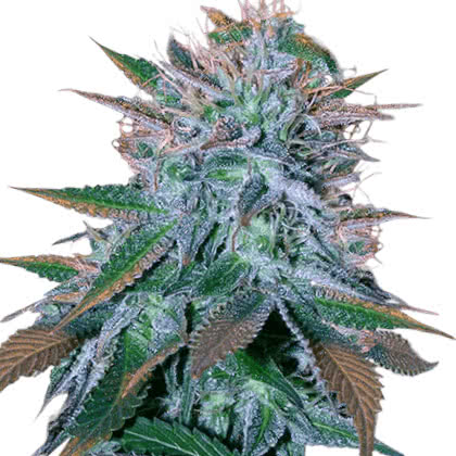White Widow Feminized Seeds for sale from Crop King