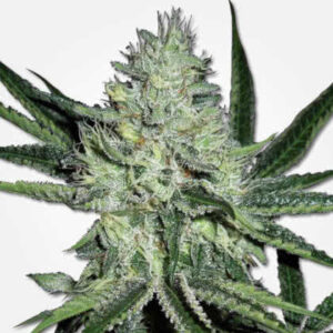 White Widow Feminized Seeds for sale from MSNL