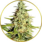 Afghan Feminized Seeds for sale USA