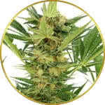 AK-47 Feminized Seeds for sale USA