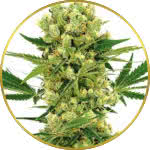Amnesia Haze Feminized Seeds for sale USA