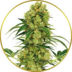 Big Bud Feminized Seeds for sale USA