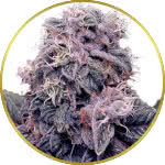 Blackberry Kush Feminized Seeds for sale USA