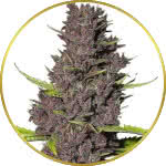 Blue Dream Feminized Seeds for sale USA