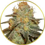 Bruce Banner Feminized Seeds for sale USA