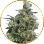 Bubba Kush Feminized Seeds for sale USA