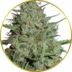 California Dream Feminized Seeds for sale USA