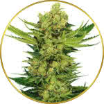 Cheese Feminized Seeds for sale USA