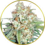 Cherry Pie Feminized Seeds for sale USA