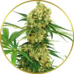 Chocolope Feminized Seeds for sale USA