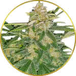 Critical Mass Feminized and Regular Seeds for sale USA