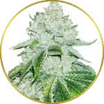 Gelato Feminized Seeds for sale USA
