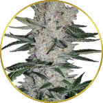 Gorilla Glue Feminized Seeds for sale USA