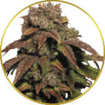 Green Crack Feminized Seeds for sale USA