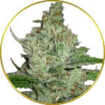 Hindu Kush Feminized and Regular Seeds for sale USA