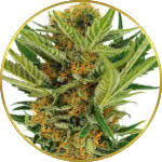 Jack Herer Feminized Seeds for sale USA