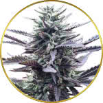 LA Confidential Feminized and Regular Seeds for sale USA