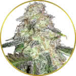 LSD Feminized Seeds for sale USA