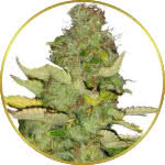 Maui Wowie Feminized Seeds for sale USA