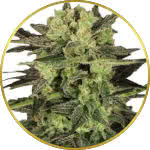 MK Ultra Feminized Seeds for sale USA
