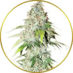 OG Kush Feminized Seeds for sale USA